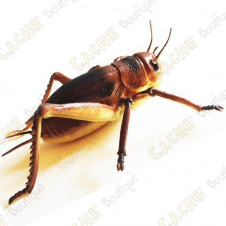"""Cache """"insect"""" - Large cricket"""
